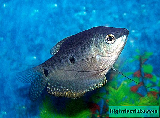 Marble gourami is a modest but notable resident of aquariums