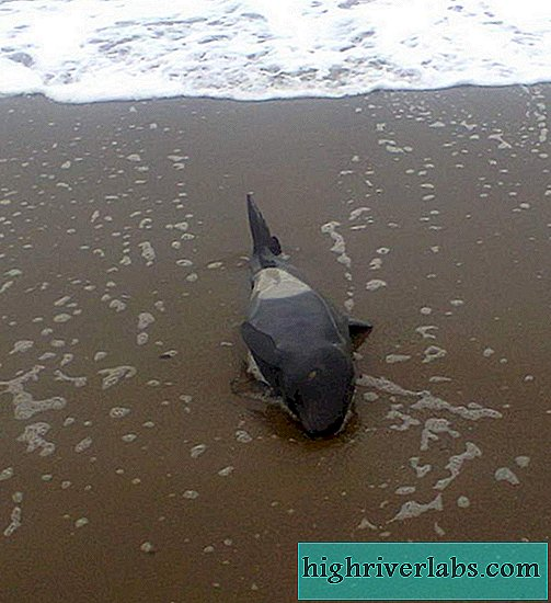 On Sakhalin they saved a killer whale, washed ashore