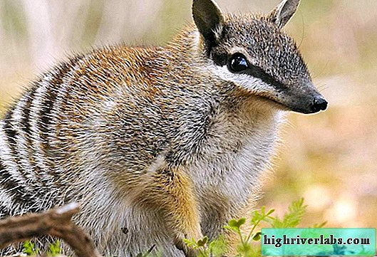 Numbat - un ancien animal marsupial