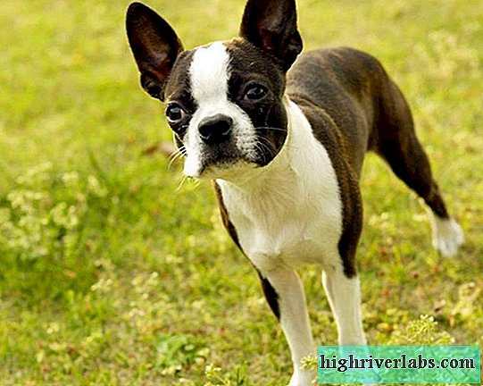 A proposito del Boston Terrier