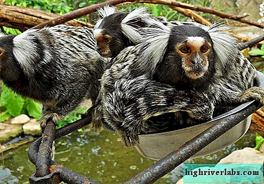 Common marmoset, hystiti or white-eared marmoset