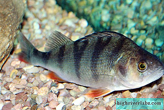 River perch: fish photo, interesting facts