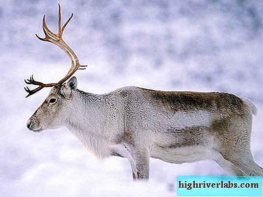 Deer - northern animal (description of what eats, photo).