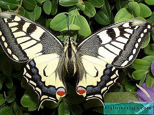 Description of the swallowtail butterfly