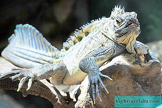 Sailing Philippine Agama - Water Dragon Lizard