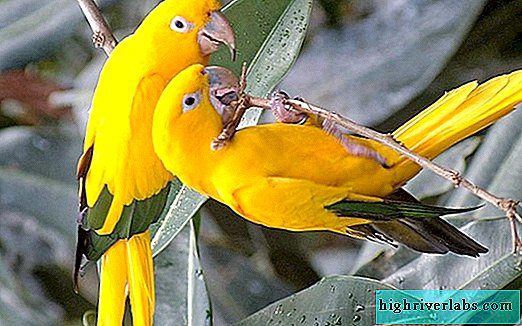 Parrots: species, lifestyle, food, interesting information