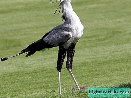 Secretary Bird - Ein gefiederter Nomade