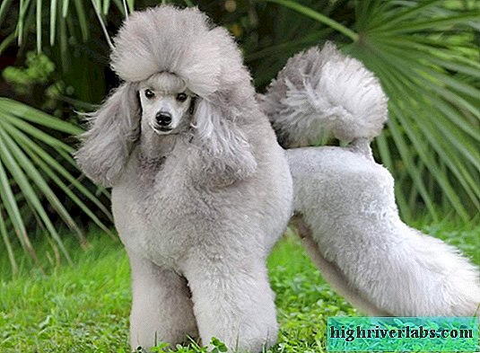 Poodle - man's curly friend
