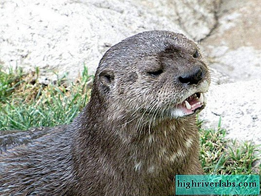 Spotted Otter - a rare animal