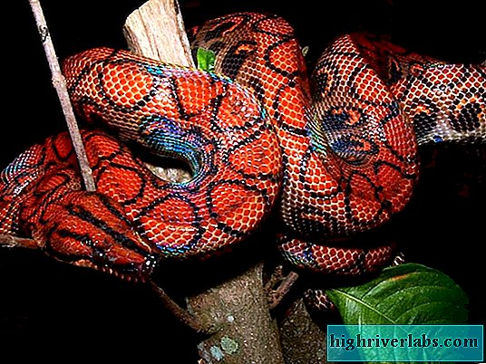 Rainbow boas: variety of species and features of their life