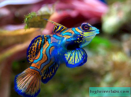 Mandarin fish: rainbow beauty