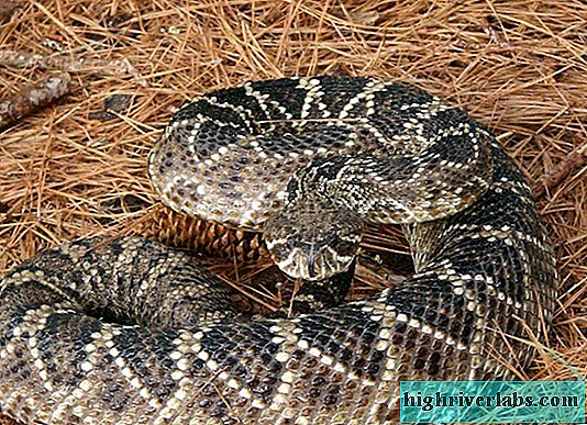 Rhombic rattlesnake - a snake notifying the enemy of a threat