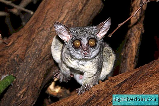 Senegalese Galago: Features of the Life of African Primates
