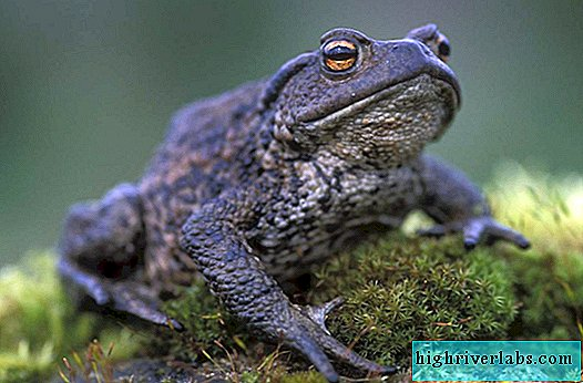 Gray toad - poisonous amphibian
