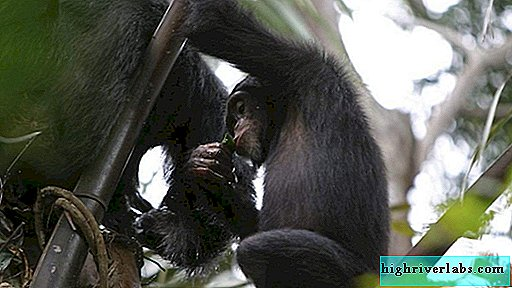 Chimpanzees drink plant alcoholic juice in the wild