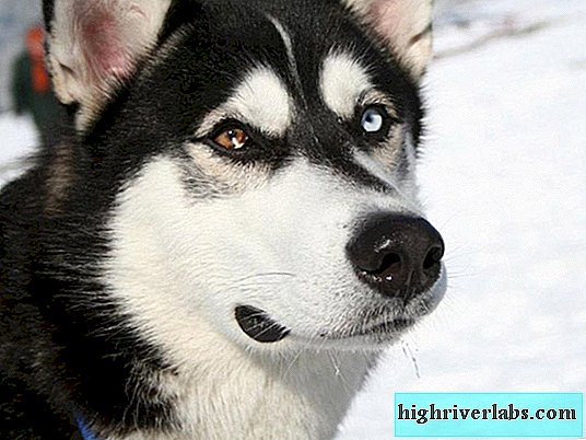 Siberian Husky - a dog for a harness