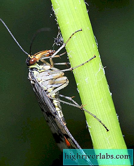 Scorpion fly. Does it resemble scorpions?