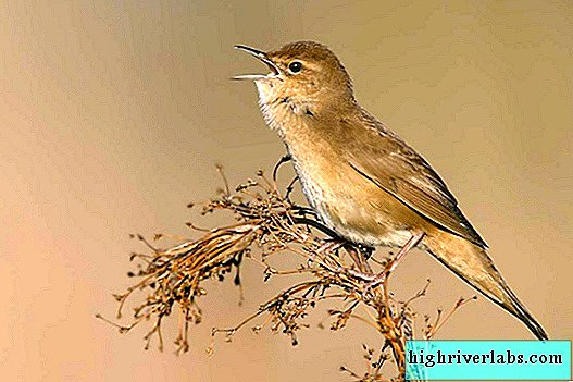 The nightingale cricket is a bird, not an insect