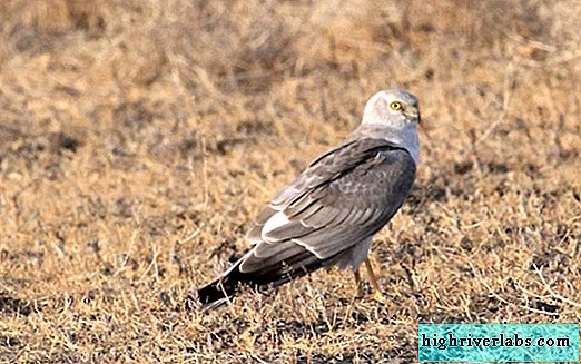Steppe Harrier