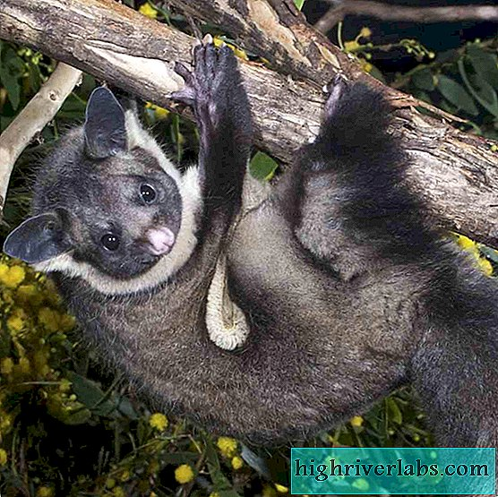Marsupial giant flying squirrel: flying animal