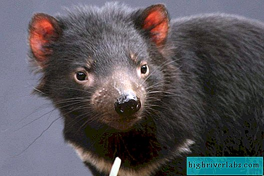 Marsupial devil is a rare animal