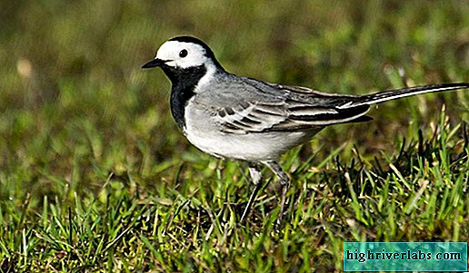 Wagtail: why does she wear a black hat?