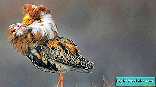 Turukhtan - a bird with a bright collar