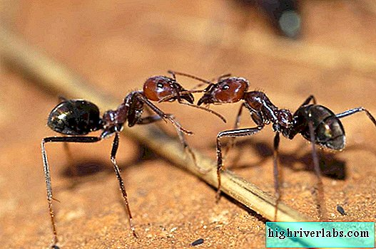 Scientists: ants are the best boxers in the world