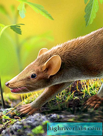 Scientists: the primitive mouse was covered with needles, like a porcupine