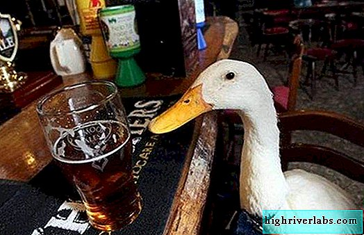 In England, a domestic duck became a regular in a pub