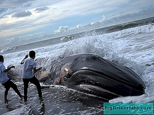 In Mexico, fifty-two whales drew ashore