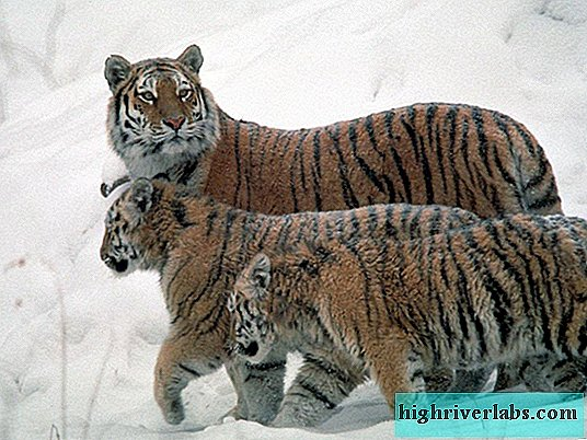 Amur tigers increase in Russia and China