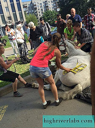 In St. Petersburg, a horse fainted
