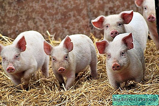"Types of pigs: all about the life of the ""pink piglets"""