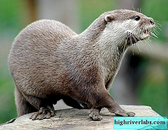 Otter is a rare animal from the Red Book.