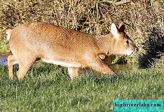 Water deer: animal photo