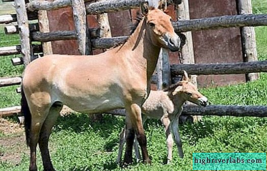 For the first time in history, Przewalski's horse brought offspring in captivity