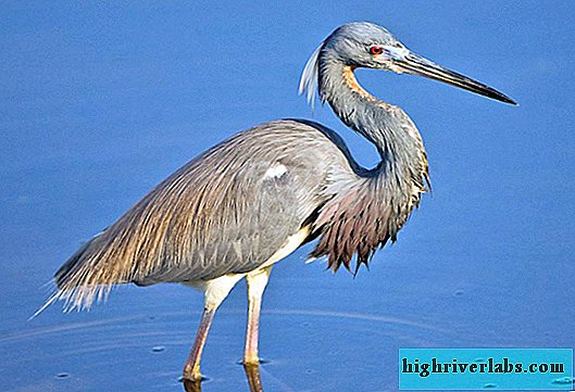 All about herons: photos, descriptions, interesting facts