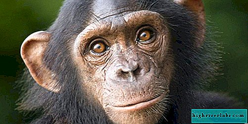 Japanese scientists: chimpanzees can remember faces no worse than humans