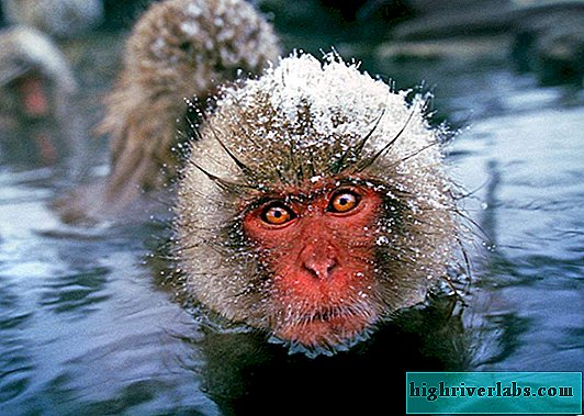 Japanese macaque. Description, photo of a monkey