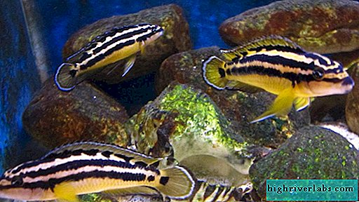 Yulidochromis ornatus: fish for an aquarium