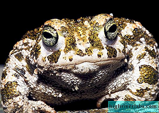 Toads: photo, description. The difference between a toad and a frog.