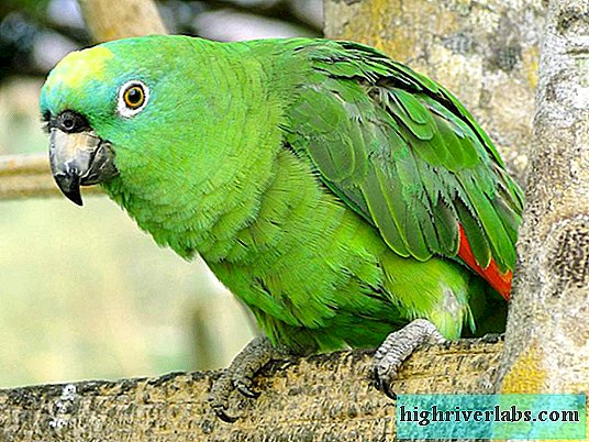Yellow-faced Amazon - Crowned Parrot