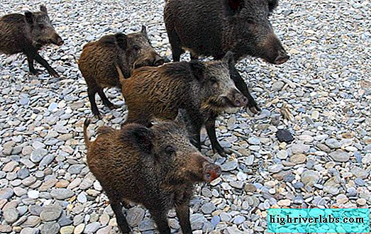 A resident of Sicily was torn to pieces by wild boars, trying to protect his dogs