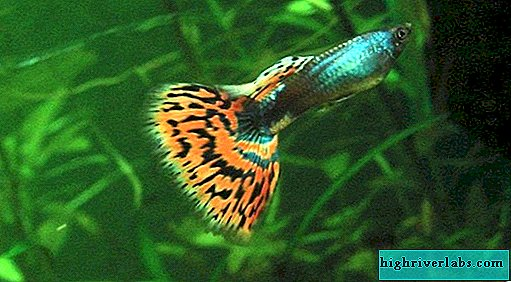 Aquarium guppies - the best fish for beginners