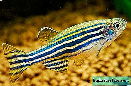 Danio rerio - the most unpretentious inhabitant of the aquarium