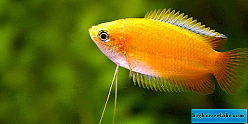 Honey gourami - a miracle fish in your aquarium
