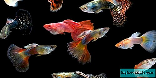 Types of Guppies | 250x501