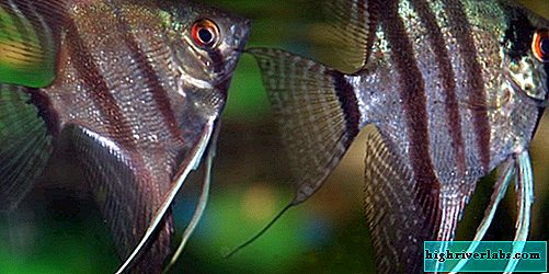 Angelfish: reproduction and care