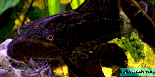 Soma plecostomus - conditions in the aquarium